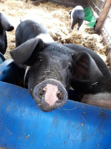 Schwein schaut in Kamera
